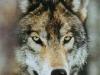img_wolf_09.jpg